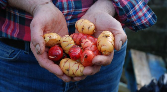 Growing  Oca  great South American Tuber