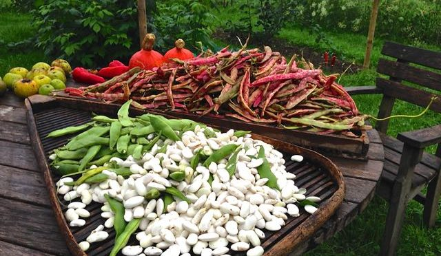 CROPPING RUNNER,BUTTERBEANS AND  CLIMBING BEANS