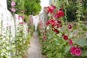 Hollyhocks-2015-5