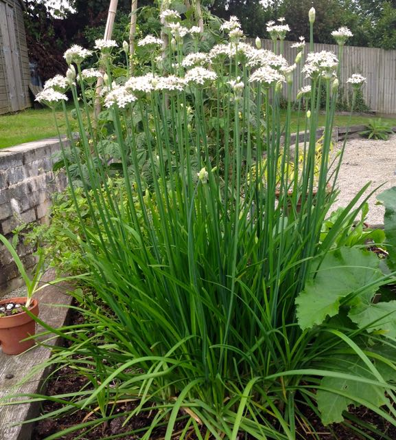 How To Grow Chinese Or Garlic Chives Learn How To Garden