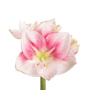 white-pink-amaryllis-1_1